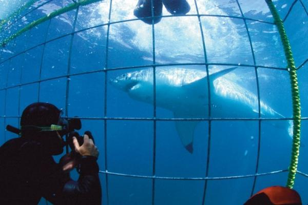 Great White Shark Cage Diving - Cape Town